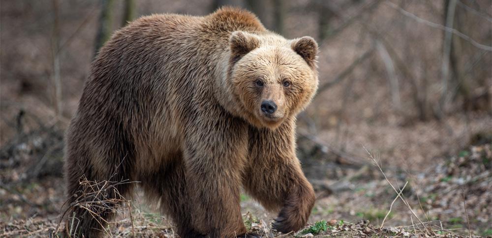 人工知能でクマを特定、生態調査や危険個体の識別に期待